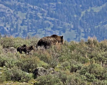 Grizzly Sow with two Coy, (cubs), Yellowstone National Park.