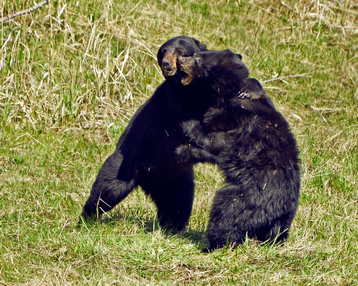 Black Bear mating Foreplay, not fighting.  Shot on Mother's Day