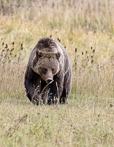 Late Fall Grizzly Bear looking for roots.
