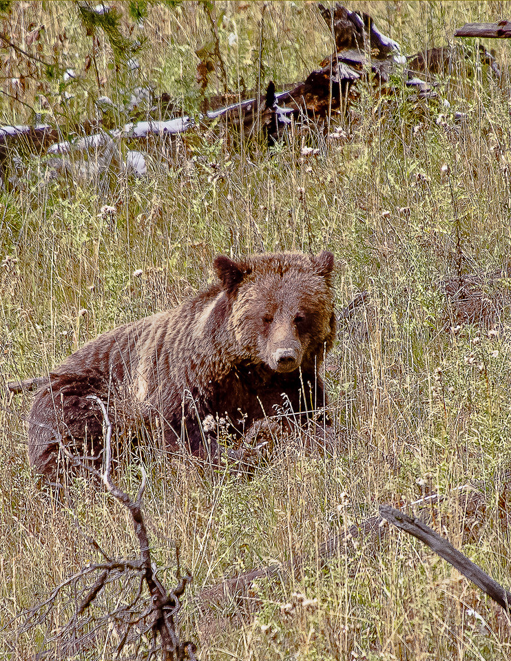 """Grizzly Bear """"Nap time"""""""