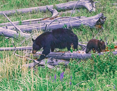 The Sow and Cub were hunting grubs in the downed pine logs.