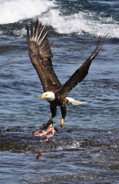Bald Eagle with Salmon scraps left by a bear.