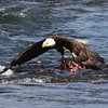 Bald Eagle with salmon scraps a bear left behind.