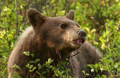 Black bear with berry on tip of tongue