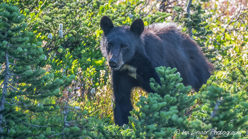 A young bear at Mount Rainier