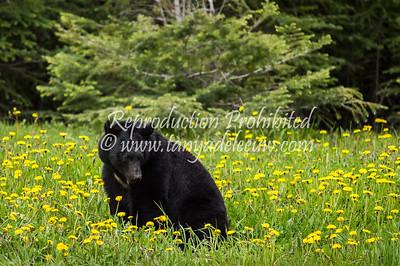Female black bear in the Kootenay National Park. June 2013