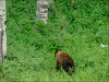 Black Bear in the La Sal Mountains - 07/03/14