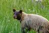 Black Bear in the La Sal Mountains - 07/10/2014