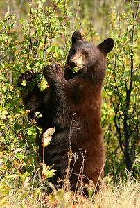 Black bear in the berries