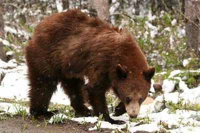 Black bear cub in spring