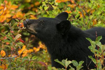 Black bear cub in berries