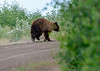 Black Bear in the La Sal Mountains - 07/06/2014