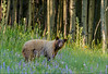 Black Bear in the La Sal Mountains - 07/10/2014