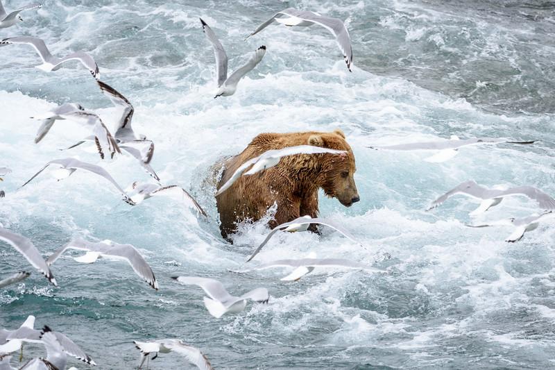 Coastal Brown Bear | McNeil River State Game Refuge, AK