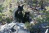 This shot was my goal on my trip. Mother and cub standing on a rock. Can't get better. Kings Canyon, California