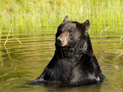 Black Bear in Pond