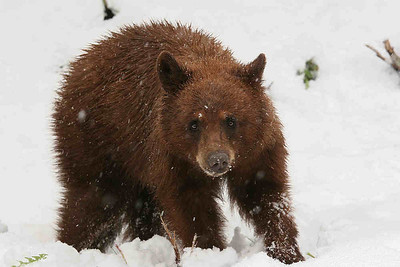 Brown bear cub in a snow storm.