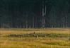 Black Bear in the La Sal Mountains - 07/16/2014