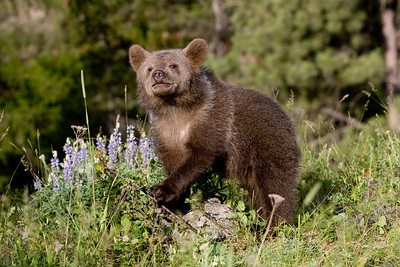 Syrian Brown Bear Cub