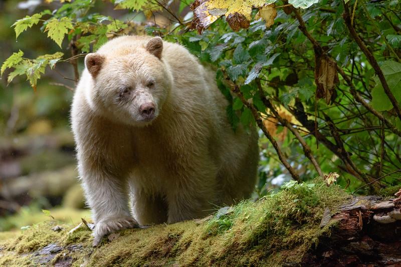 Black (Spirit) Bear | Gribbell Island, Great Bear Rainforest