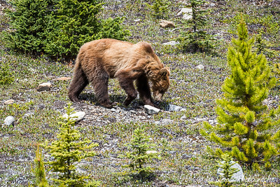 Grizzly Bear, Banff