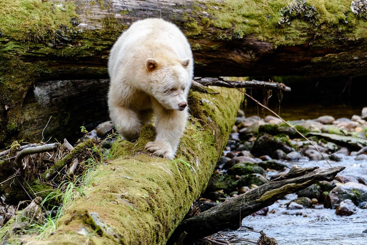 Black (Spirit) Bear   Gribbell Island, Great Bear Rainforest