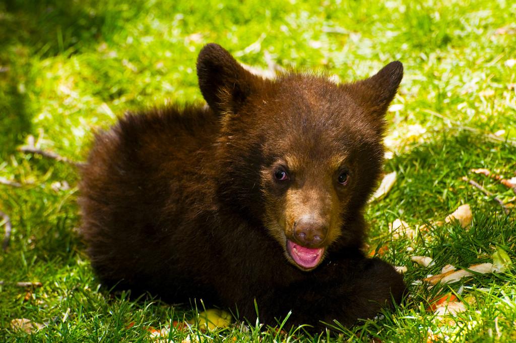 Black Bear Cub, 'Coco'