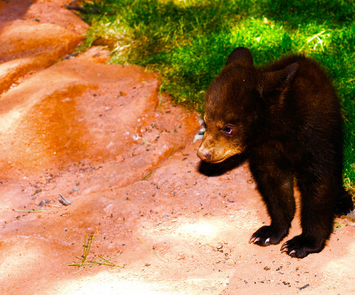 Black Bear Cub, 'Cocoa'