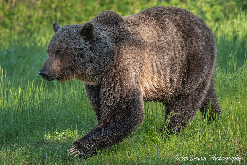 Grizzly Bear displaying claw