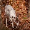 Rare Piebald Deer