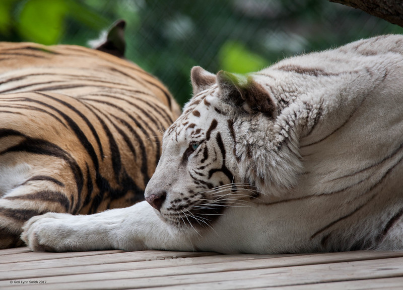 White tiger resting at the zoo