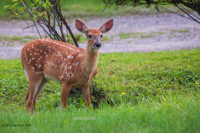 Fawn on the lawn