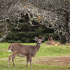 Pemaquid Deer