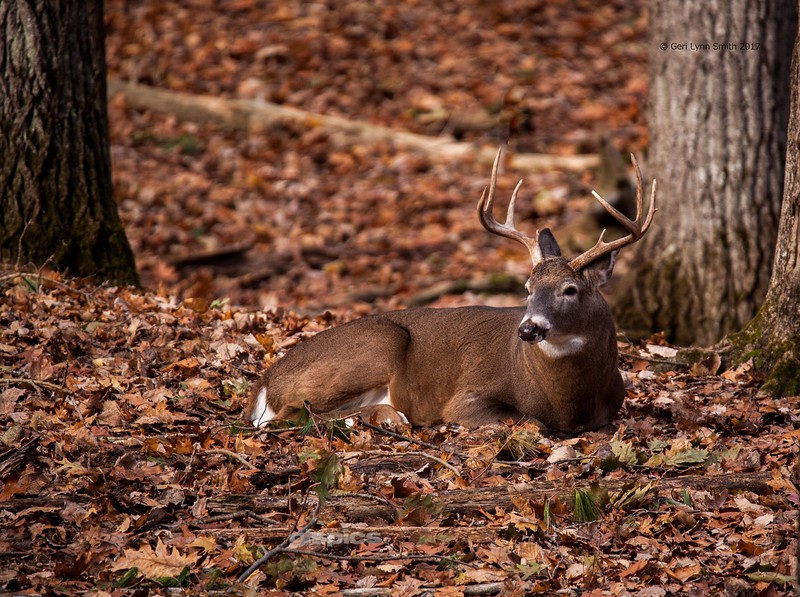 A Buck Resting in the Forest