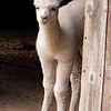 Cria, one month old