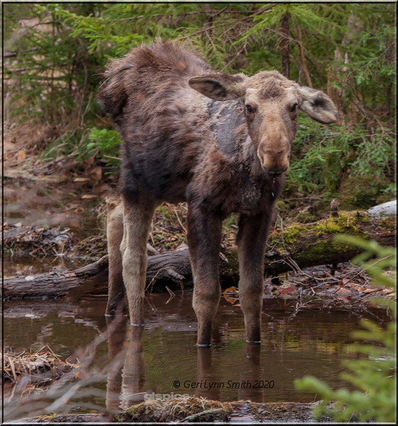 Young Moose