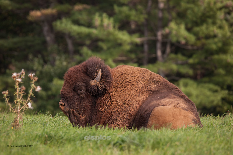 That's One Big Buffalo