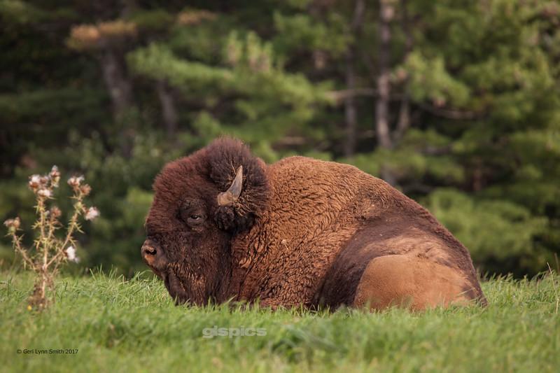 That's One Big Buffalo