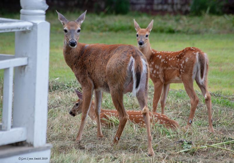 Family of Deer in Eastport, Maine