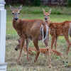 Family of Deer in Eastport, Maine
