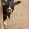 Peek a boo goat