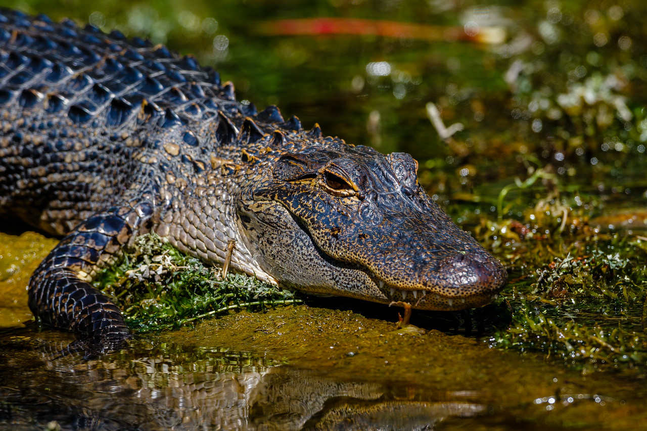 American Alligator on the Silver River