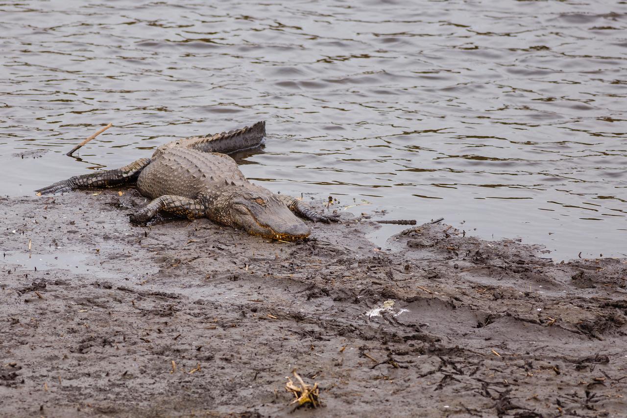 American Alligator at Paynes Prairie