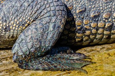 American Crocodile, Everglades NP