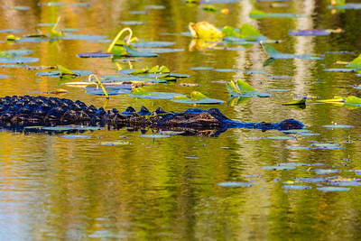 American Alligator, Everglades NP