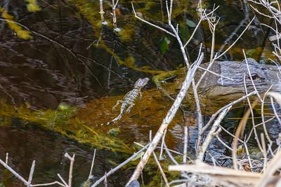 American Alligator, Merritt Island NWR