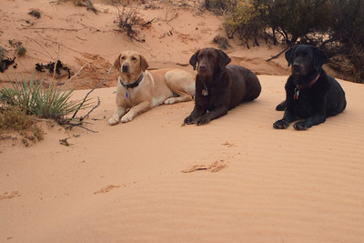 Marley's lineage stems from amazing stock. The Black Lab is Beau, Marley's Great Grandmother. The Chocolate is Elle, Marley's Grandmother. The Yellow Lab is Kai the Downclimbing Doggie, Marley's mother.