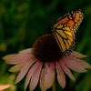 Monarch Butterfly on the Coneflower