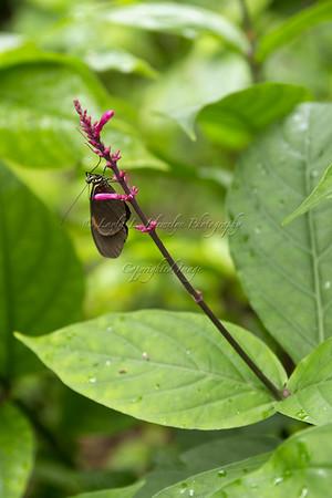 Plesseni Butterfly
