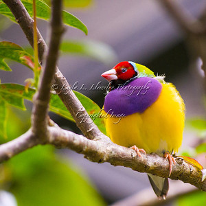 Day 8 Lady Gouldian Finch